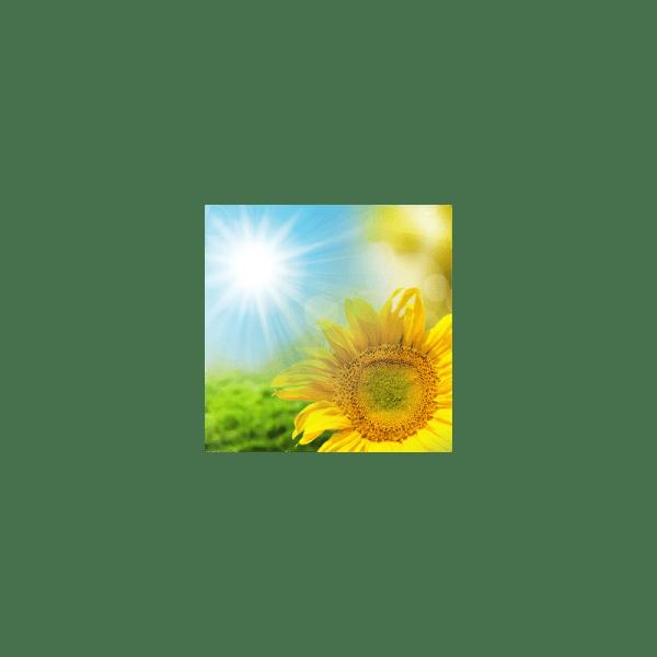 Sunflower Fragrance Oil ( Size A - 1/4 ounce)