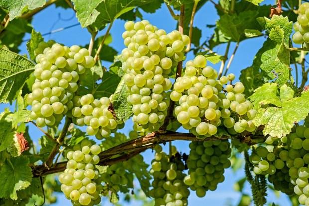 Edad media de las viñas