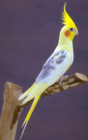 La Carolina: una preciosa ave exótica como mascota