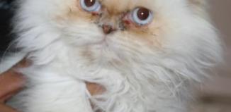 gato persa razas