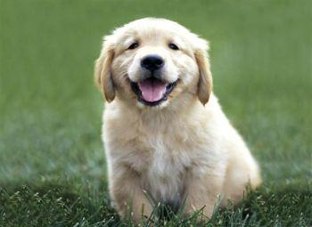 perros de moda: el golden retriever