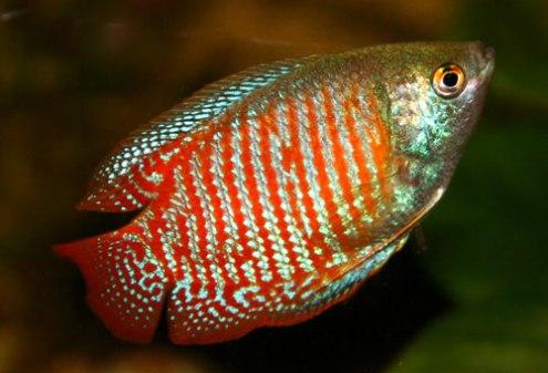 peces gourami enano