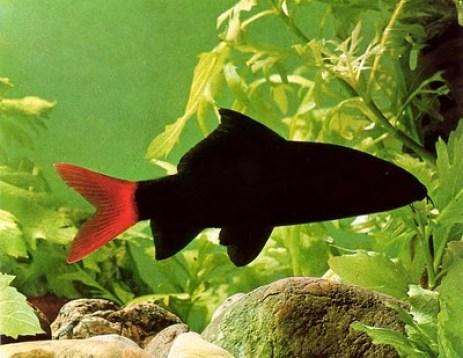 peces labelo