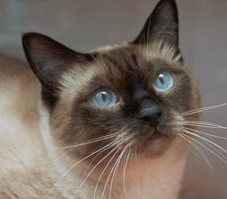 los cuidados de los gatos siameses