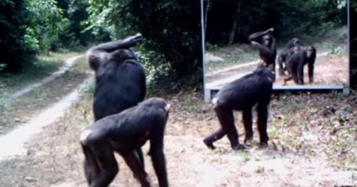 Resultado de imagen para chimpancé mirandose en un espejo