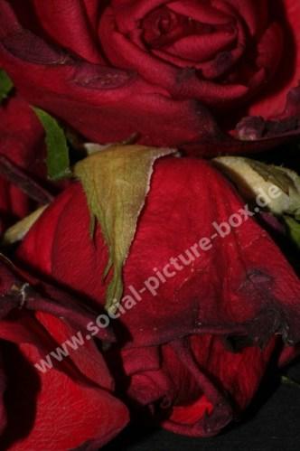 Rosen - Liebe - Geschenk - Blume - Blüten