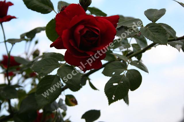 Rosen - Liebe - Geschenk - Blume - Blüte - Rosenstock - Rosenbogen
