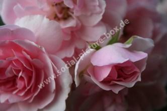 Rosen - Liebe - Geschenk - Blume - Blüte - Rosa