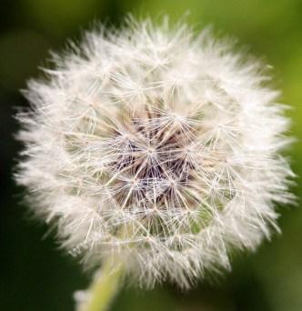 Löwenzahn - Pusteblume - Kräuter - Salat - Gemüse - Frühjahr