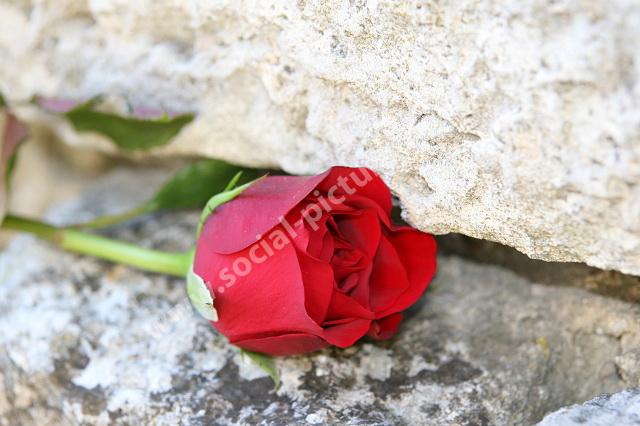 Rose - Liebe - Blumengruß - Rot -