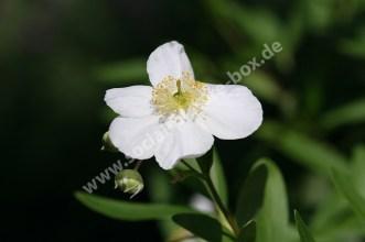 Blumen - Blüten - Weiß