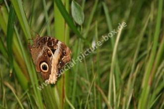 Social Picture Box - Schmetterling - Braunauge - im Gras