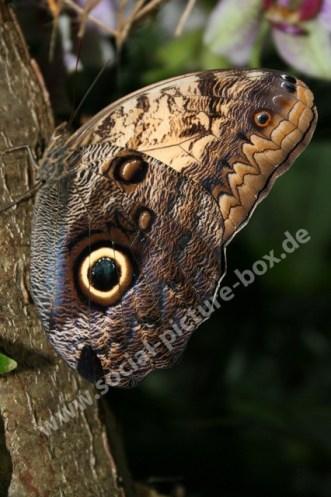 Braunauge - Schmetterling - Edelfalter -