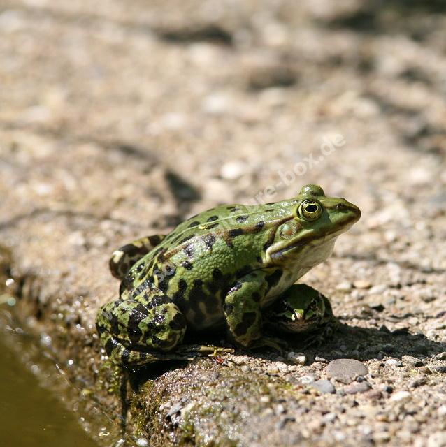 Amphibien - Frösche - Kröten - Schildkröten