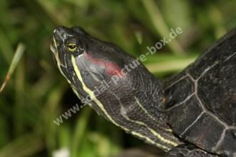 Reptilien - Schildkröten - Rotwangenschildkröte - Neuwelt-Sumpfschildkröten