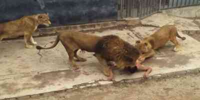 Nude Man Provokes Lions in Santiago, Watch Video