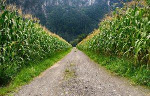 landweggetje eindeloos rechtdoor door maisvelden