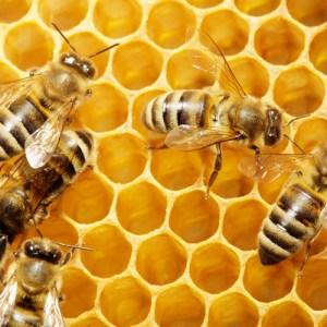 Honey Bees by Tischenko Irina on Shutterstock.com