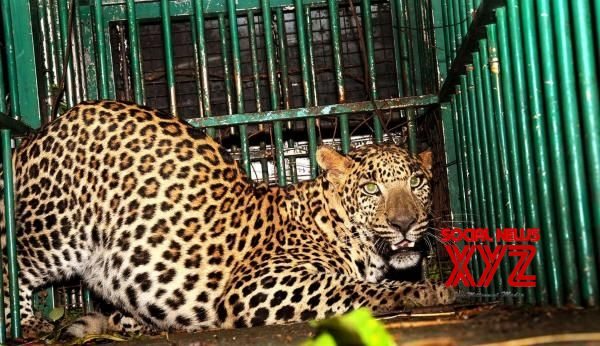 Man-eating leopard trapped in Uttarakhand
