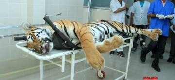 Nagpur: The carcass of tigress Avni or T1 arrives for an autopsy at Gorewada Rescue Centre in Nagpur on Nov 3, 2018. Avni or T1, who is believed to be responsible for killing and devouring 13 humans in the Pandharkawada- Ralegaon forests of Yavatmal district in eastern Maharashtra over the last two years. In September this year, the Supreme Court had said Avni or T1, as she is called, could be shot at sight, which prompted a flurry of online petitions seeking pardon for the tigress. (Photo: IANS)