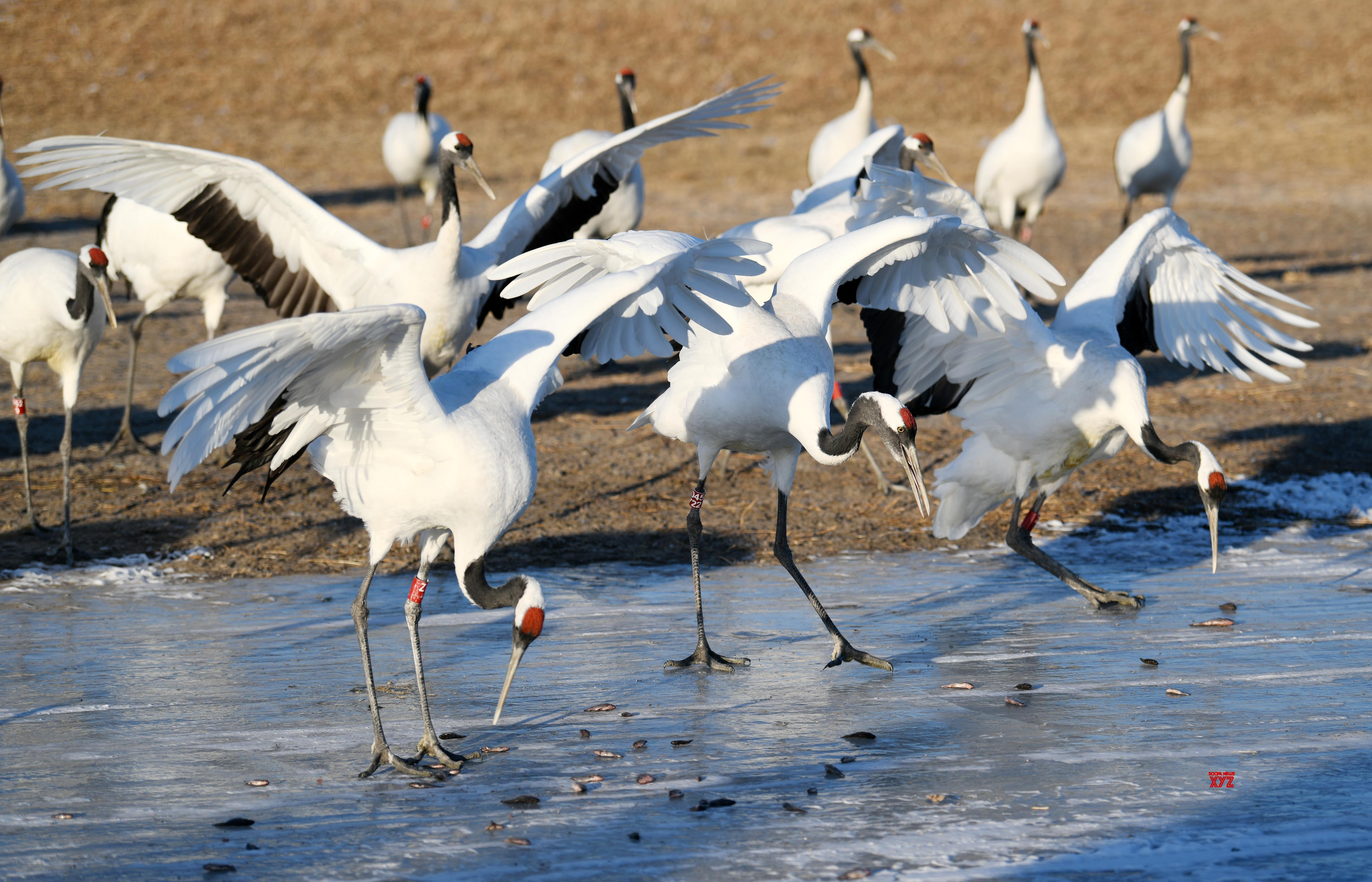CHINA - HEILONGJIANG - RED - CROWNED CRANES #Gallery