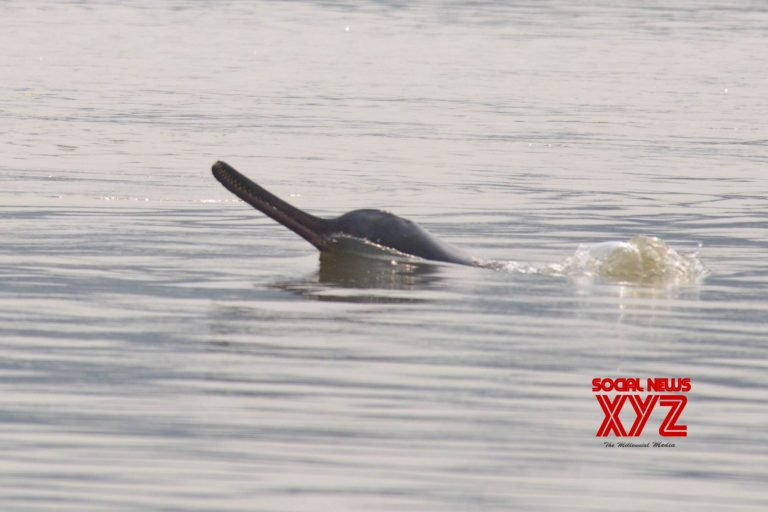 A surfacing Gangetic river dolphin. (Photo: Ravindra Sinha)