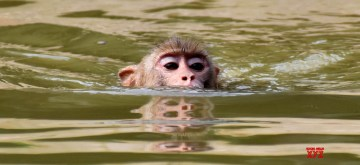 Guwahati: A monkey relaxes in water to beat the heat on a hot summer day at the Assam State Zoo cum Botanical Garden in Guwahati on June 11, 2019. (Photo: IANS)