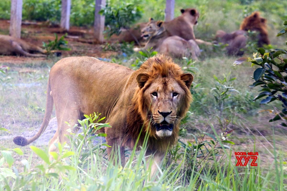 Gujarat gifts 7 lions to UP