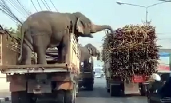 Tuskers in trucks snack on sugarcane from passing vehicles
