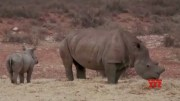 Rhino poaching surges across Africa amid virus pandemic (Video)