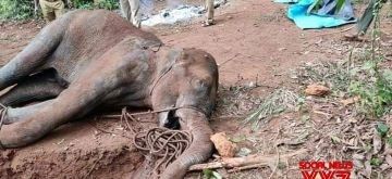 The Kerala Forest department has launched a 'manhunt' for those responsible for the death of a 15-year-old pregnant wild elephant, said an official. The elephant had died after being seriously injured by firecrackers hidden in a pineapple. Speaking to IANS Samuel Pachuau, the Wildlife Warden of the Silent Valley National Park, near here said this was a serious crime whosoever was behind it. According to Pachuau, some people had placed firecrackers inside a pineapple and this was eaten by the wild elephant and in the process of chewing the cracker burst and injured the elephant.