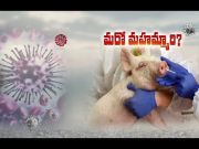 New Strain of Swine Flu Virus with Pandemic Potential Found | in China  (Video)