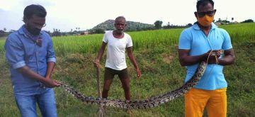 Mahbubnagar: A python caught by villagers in Alwal village of Peddamandadi Mandal in Mahbubnagar district of Telangana on Oct 16, 2020. (Photo: IANS)