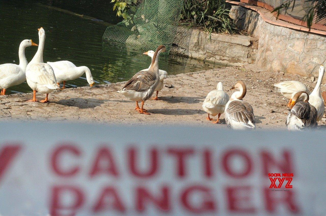 Bird flu: Unnatural bird deaths reported from J&K, Jharkhand