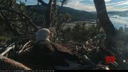 Bald eagles take turns tending nest with 2 eggs (Video)