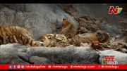 NTV:  Ground Report on Tipeshwar Tiger Reserve (Video)