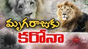 8   |  8 Lions Test Positive for Corona Virus | First Such Case in India  (Video)