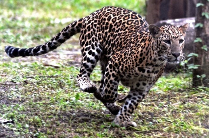 Farmer saves son from leopard attack in Dudhwa Reserve