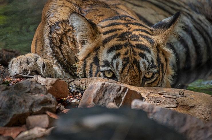 Tiger MDT23 seen on camera finally, TN Forest Department speeds up combing