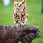 """Martino"" the Eastern Screech Owl"