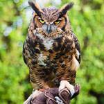 """Kalala"" aka ""Meep"" the Great Horned Owl"