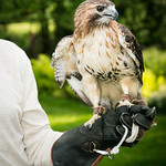 """Sonja"" the Red-Tailed Hawk"