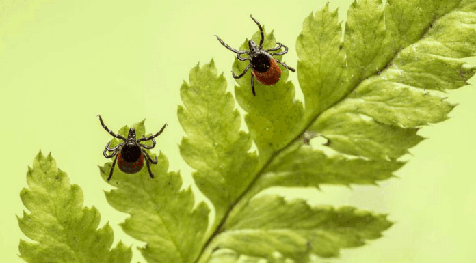 Lyme disease is the fastest growing vector-borne illness in the US. Here's the full story, from background to symptoms to prevention.