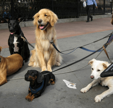 Dog Breeds That Suit The City Life