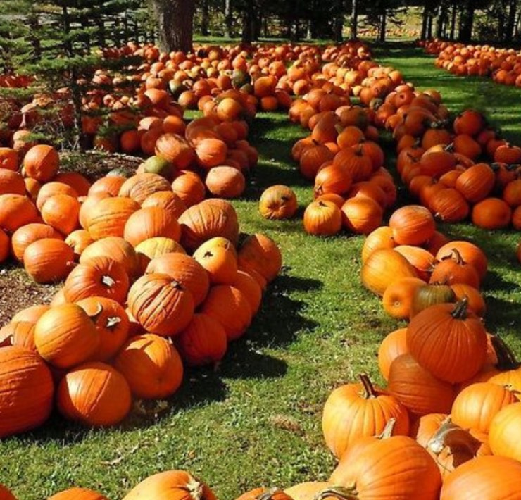 Pumpkin Patches, Amazing Pumpkin Patches You Have To Visit