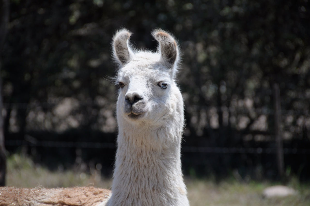 Wolle der Lamas auf sockshype Wolly-Lama Wolle der Lamas <b>Die Wolle</b> der Lamas