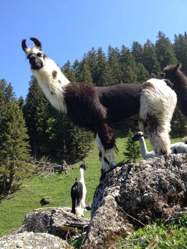 Lama auf sockshype Wolle der Lamas <b>Die Wolle</b> der Lamas