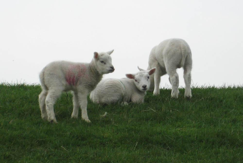 Die Schafe und ihre Wolle wolle Das Schaf und seine Wolle – Interview mit Frank Gorter