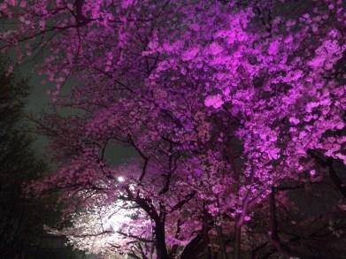 Beleuchtete Kirschblüten // Illuminated cherry blossoms in Seoul
