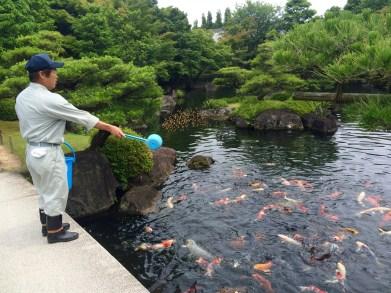 Ebenfalls eine neue Erkenntnis: Koi Fische werden gefüttert.